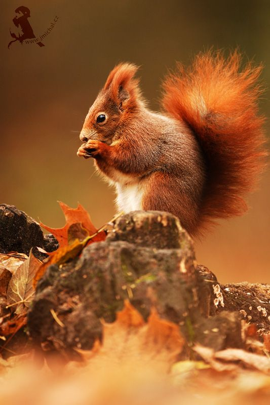Red Squirrel clipart living thing #4