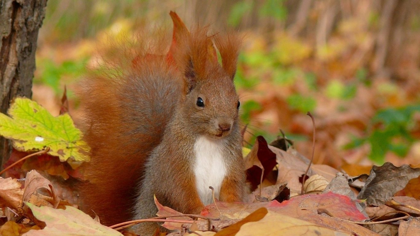 Red Squirrel clipart snow white #9