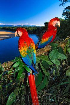 Scarlet Macaw clipart tropical bird #6