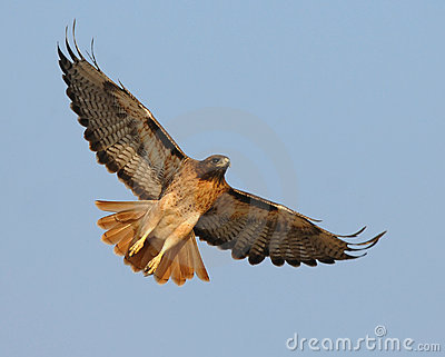 Harris Hawk clipart eagles Download Hawk tailed #13 tailed
