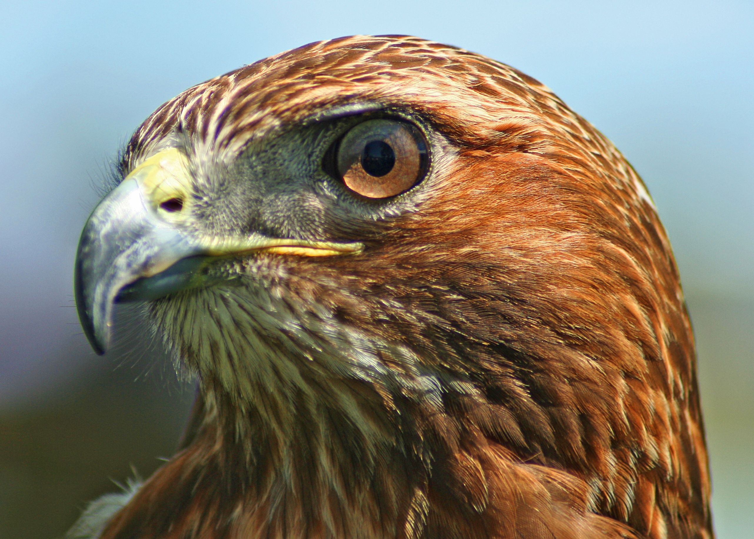 Drawn hawk mean Tailed Download tailed #8 Red
