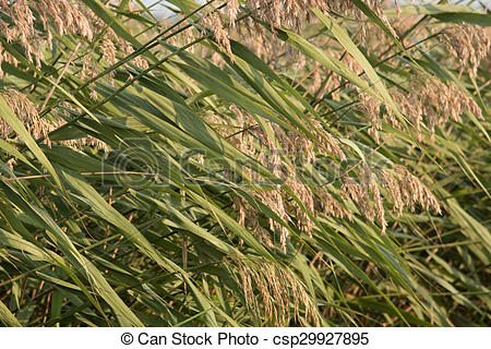 Reed clipart marsh grass The seed of wetlands Reed