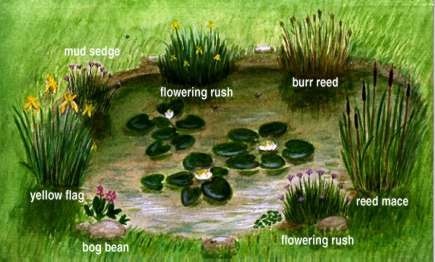 Reed clipart pond plant Great pond to with study