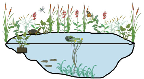 Reed clipart pond plant Backyard Maryland's with Image graphics