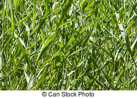 Reed clipart stems (Phragmites of stems; stand stems;