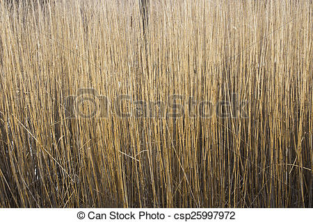 Reed clipart stems Thick Stems Reed Picture of