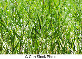 Reed clipart stems Stand stems (Phragmites of Common