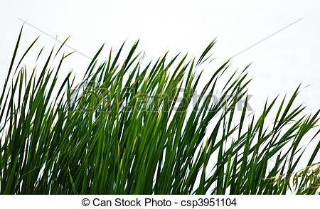 Reed clipart wetland Of on csp3951104  wetland