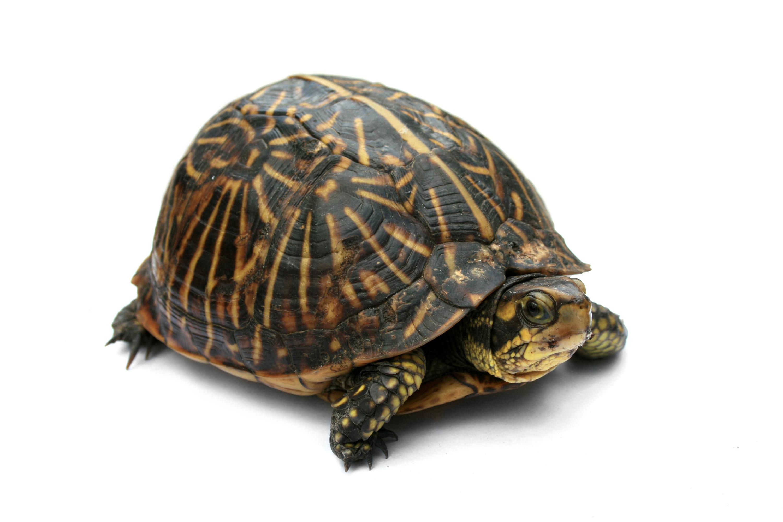 Sea Turtle clipart box turtle #14