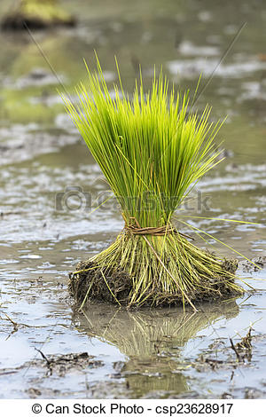 Rice clipart bundle To Bundle planted rice young