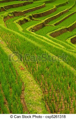 Rice Terrace clipart rice field Csp5261318 Search terraces Bali of