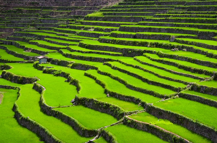 Rice Terrace clipart rice field And easy (Philippines) and a