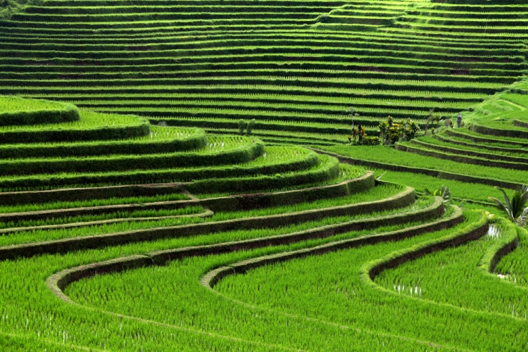 Rice Terrace clipart rice field  emaze on Name Presentation