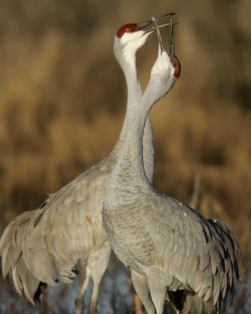 Sandhill Crane clipart crane bird #2