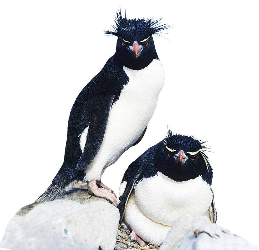 Rockhopper Penguin clipart Penguin clipart Art Funny Clip