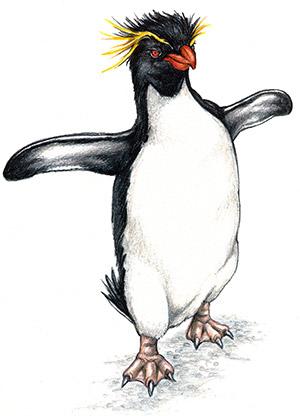 Rockhopper Penguin clipart Penguin PENGUINS Overviews Appendix: Species