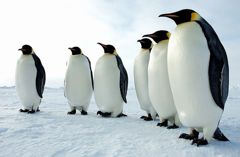 Rockhopper Penguin clipart emperor penguin #9