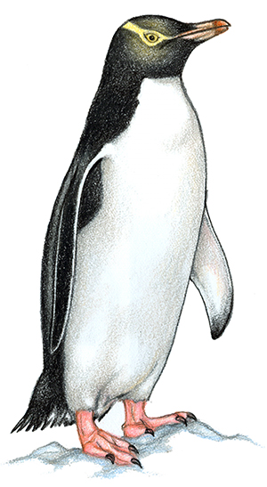 Rockhopper Penguin clipart emperor penguin #6