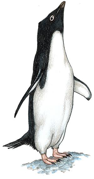 Rockhopper Penguin clipart emperor penguin #7