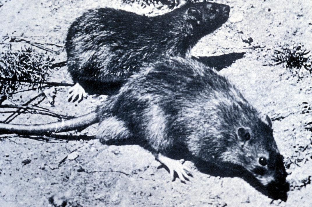 Drawn rat black death Black edu usu The Black