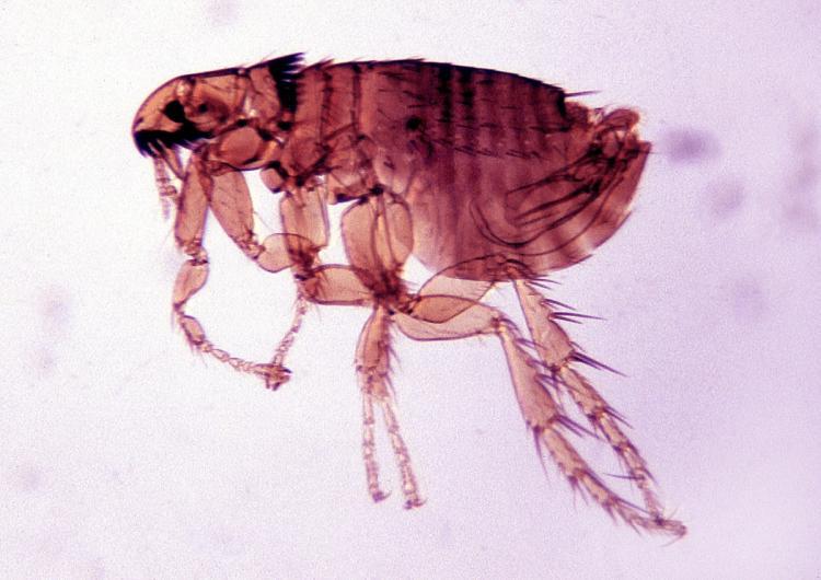 Drawn rat bubonic plague Art Clip Death Clipart Flea