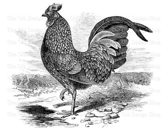 Rooster clipart vintage #11
