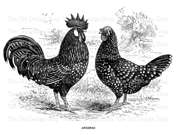 Rooster clipart vintage #14