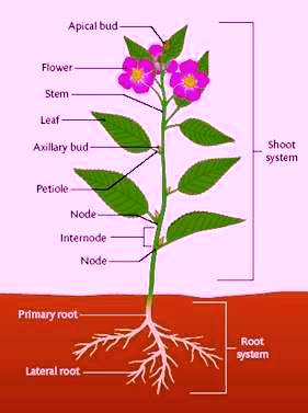 Roots clipart flower bud A of Diagram a com