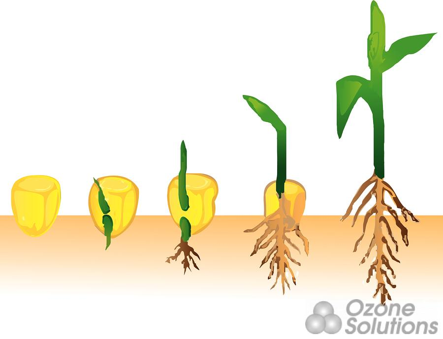 Bean clipart corn seed On Kinetics Treatment Treatment Corn