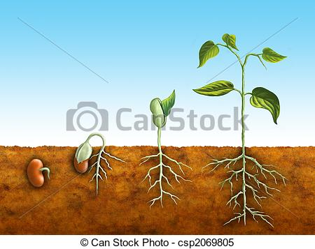 Beans clipart germination Growing Clipart  Seed