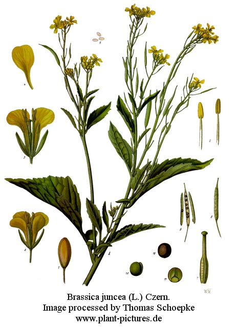 Plant clipart mustard seed The Art parable Nail of