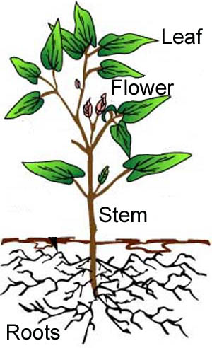 Plant clipart part Functions plants learning and parts