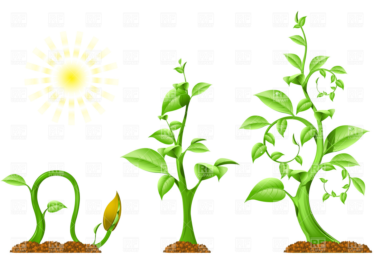 Bean clipart corn seed Plants Clip  Roots download