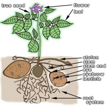Underground clipart potato plant To it tower potatoes a