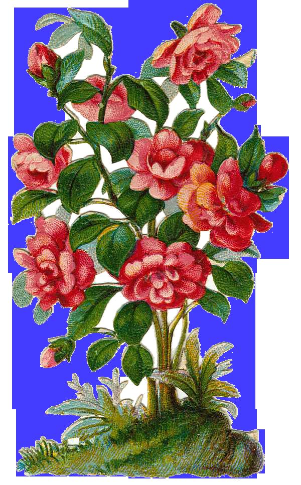 Pink Rose clipart rose bush Free Bush art clip Art