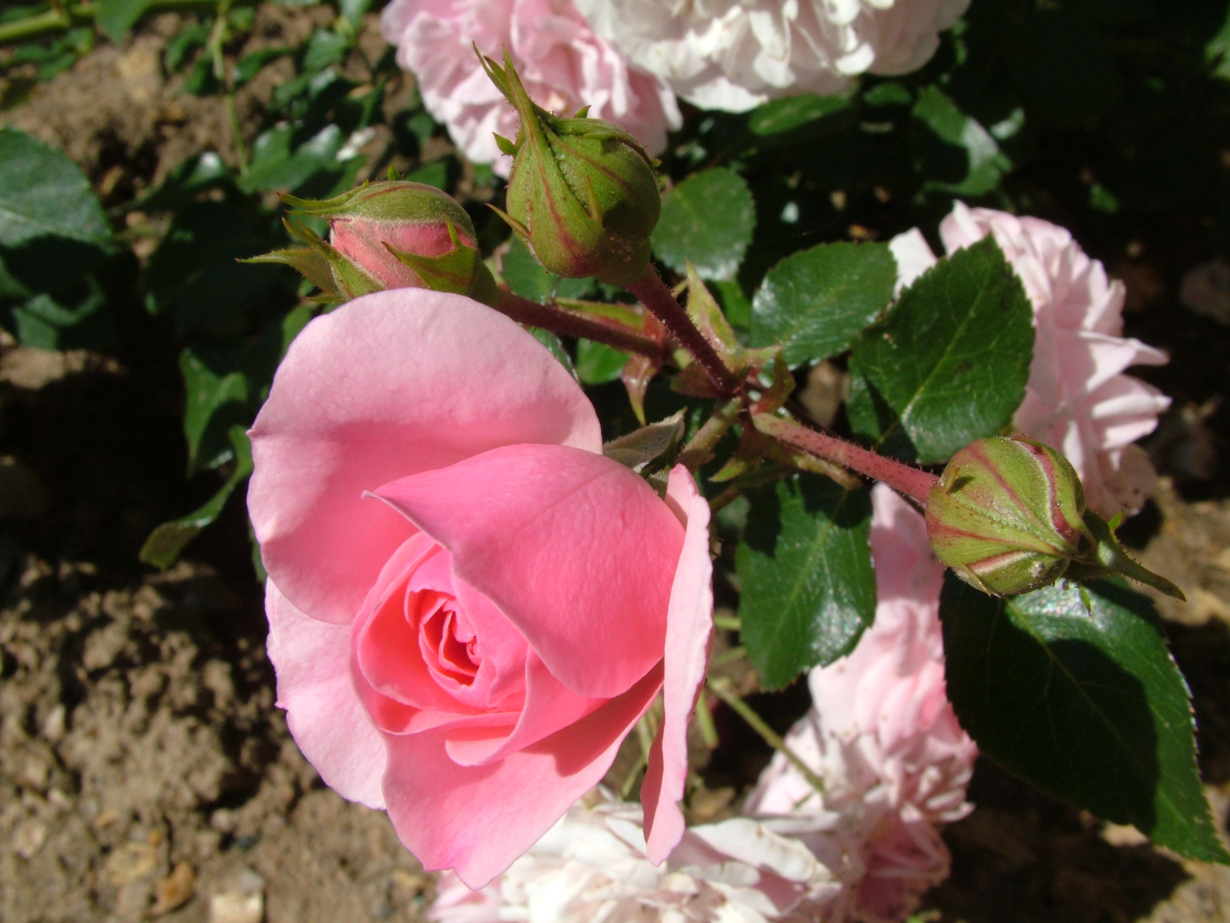 Pink Rose clipart rose bush Pink flowers bush free pink