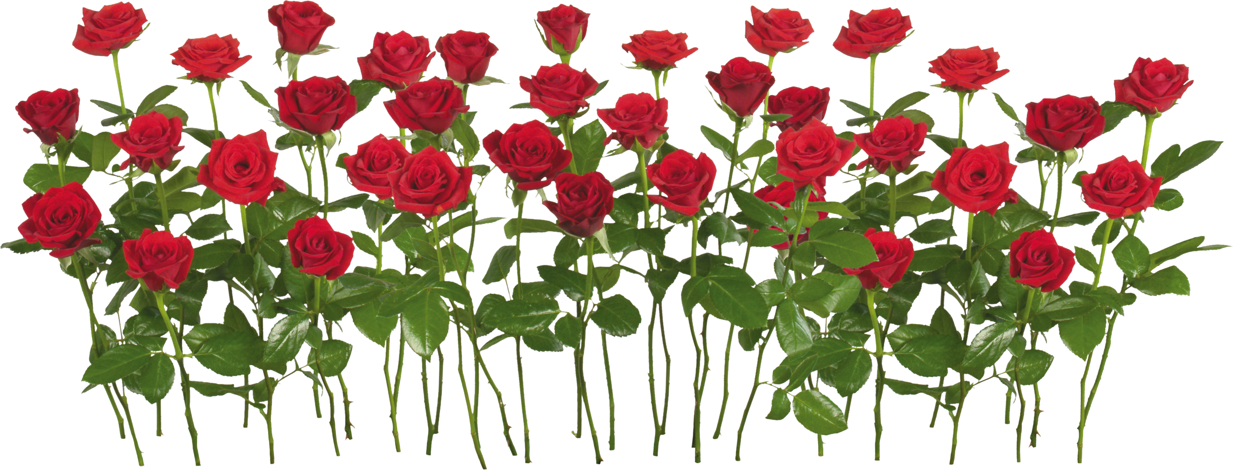 Rose clipart different kind plant #6