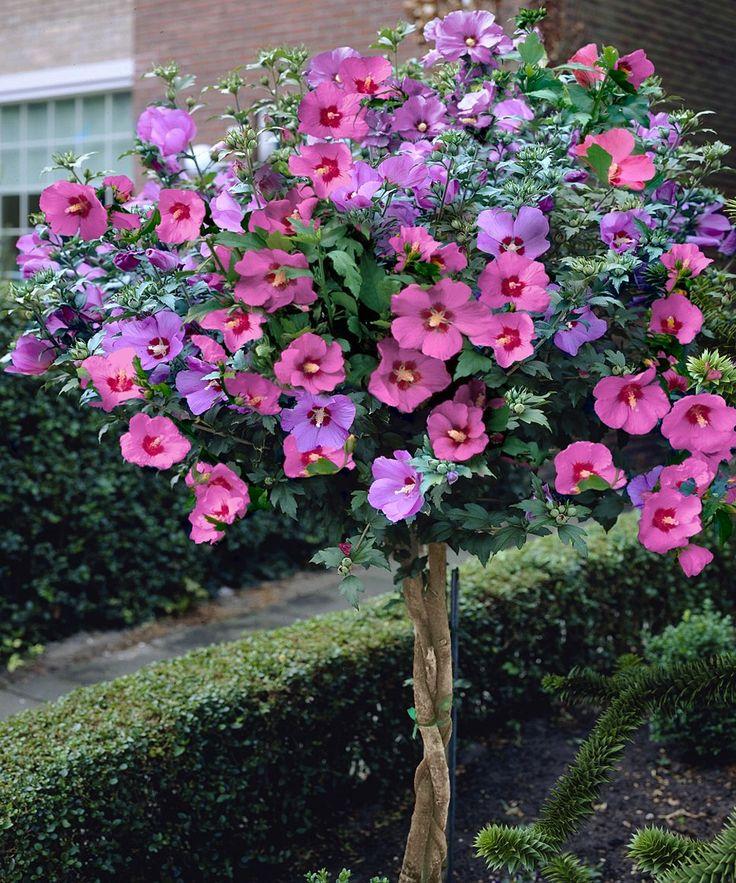 Rose Bush clipart shrub plan #13