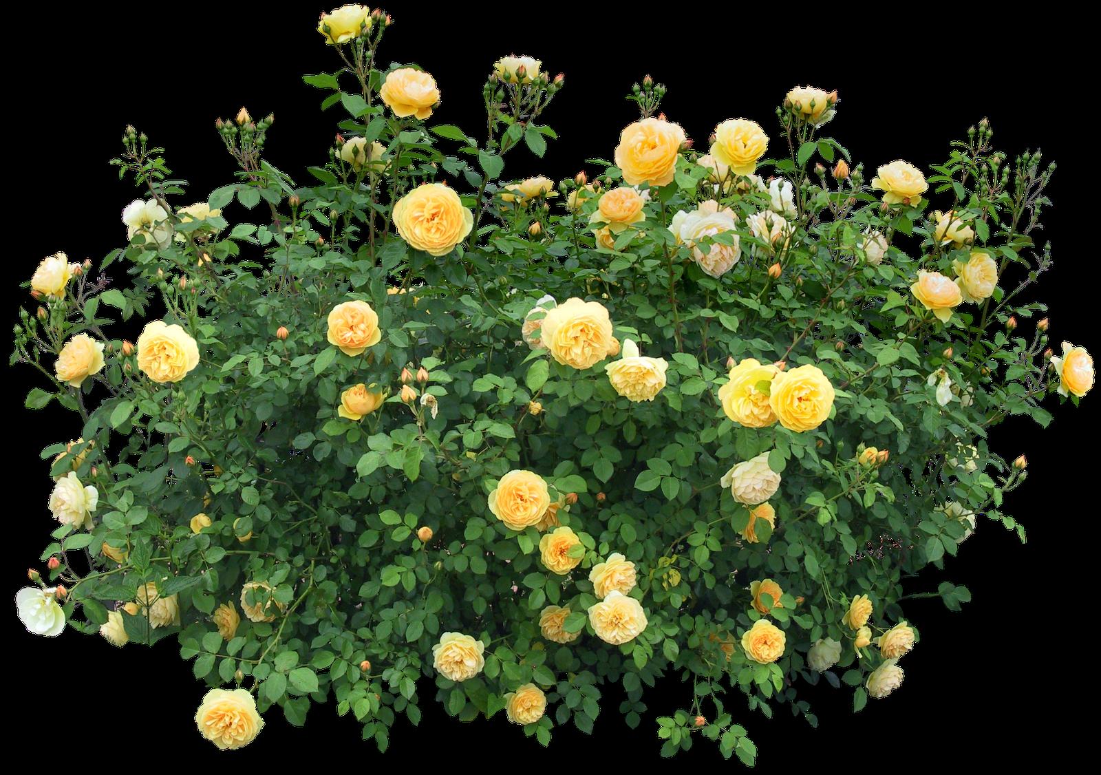 Rose Bush clipart shrub plan #1