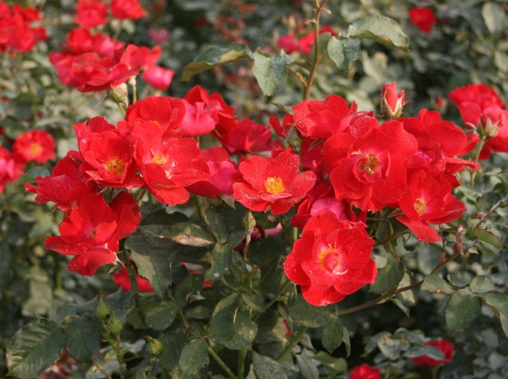 Rose Bush clipart shrub plan #9