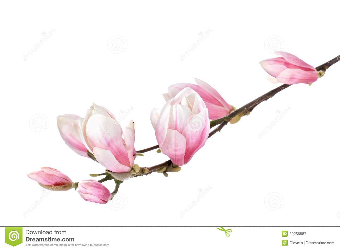 Rose clipart branch #7