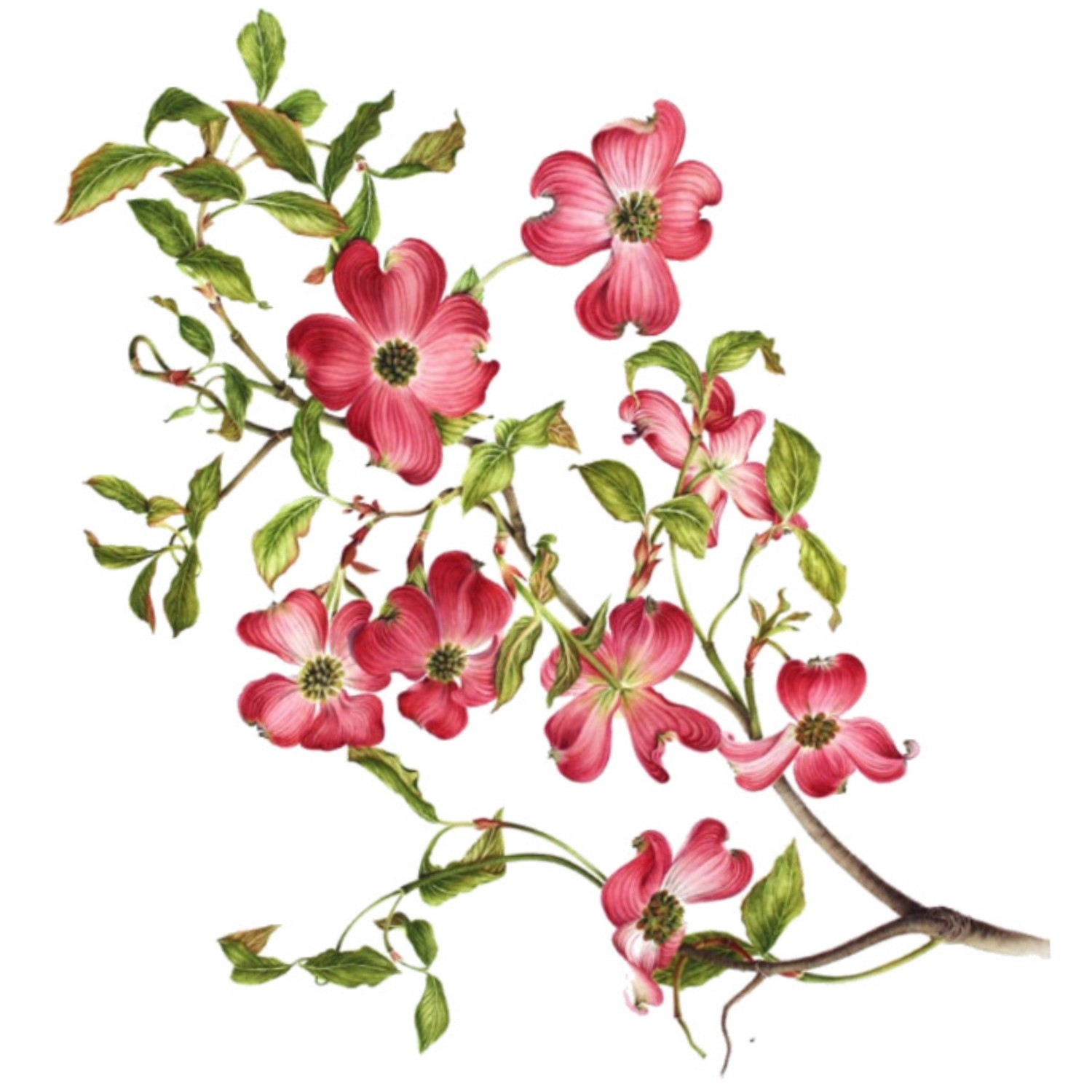 Rose clipart branch #8
