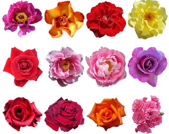 Pink Rose clipart clip Clipart Rose Clip Clip Rose