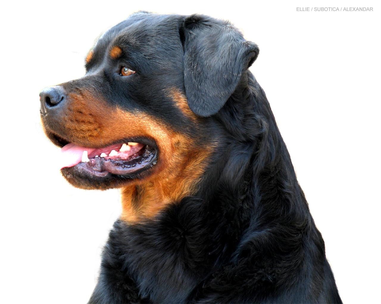 Rottweiler clipart german #9