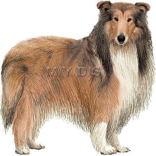 Rough Collie clipart collie dog #2