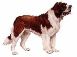 St. Bernard clipart puppy #13