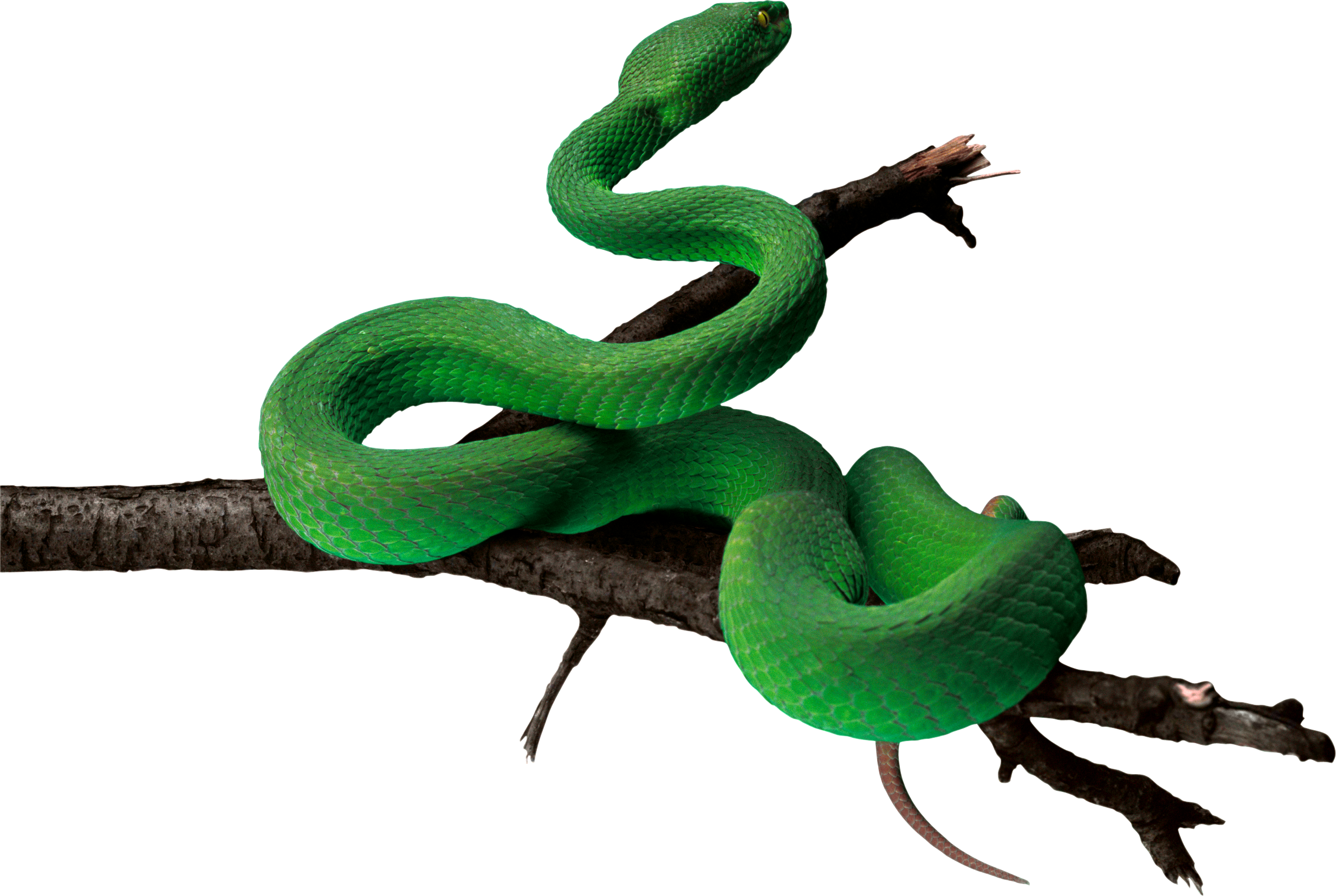 Smooth Green Snake clipart black and white Green image PNG snake snakes