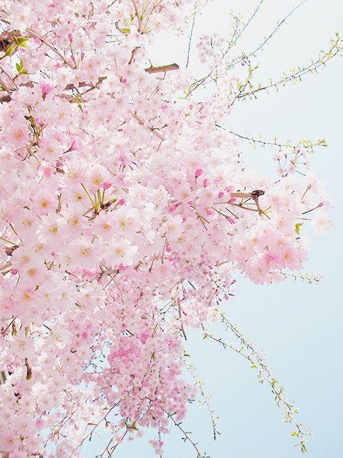 Sakura Blossom clipart tumblr backgrounds #14