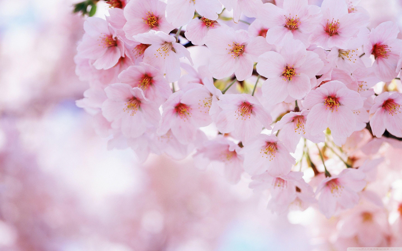 Sakura Blossom clipart tumblr backgrounds #8