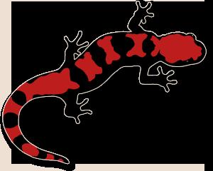 Newt clipart salamander #8